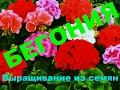 Бегония. Выращивание из семян. От посева до всходов (ч. 1). Begonia from seed. Кратко, чётко и ясно!