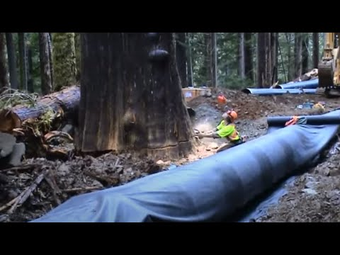 Falling Old growth Cedar