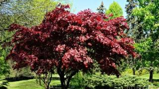 Japanese maple tree Most handsome You have ever seen