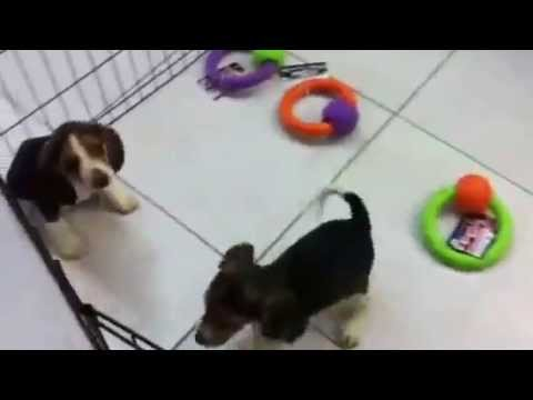 beagle puppies adoption south florida