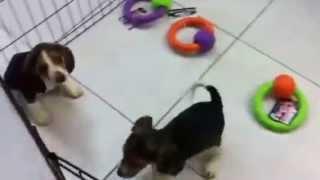 Beagle  Puppies For Sale In Miami Fl. Tel-305-262-7310. Www