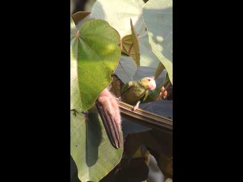 Cobalt winged parakeet