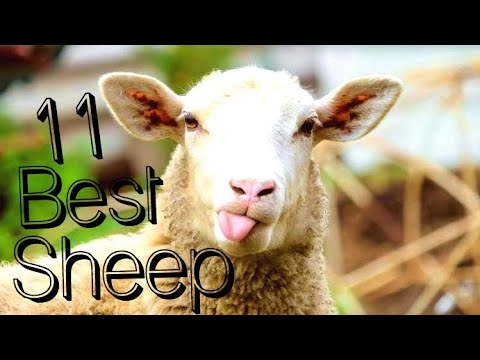 Download 11 Best Sheep Breeds for Meat Production