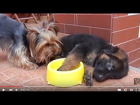 Charming puppies! ЧУДЕСНЫЙ ЩЕНОК немецкой овчарки и Ричард.Одесса.