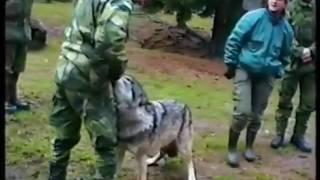 Нападение волка на человека