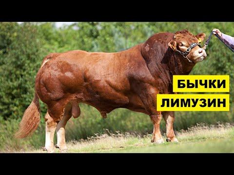 Вопрос: Как называется мускусный бык, обладатель роскошной шерсти, что известно?