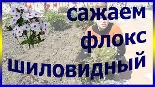 Флокс шиловидный посадка уход выращивание. Как правильно посадить флокс. Посадка флокс
