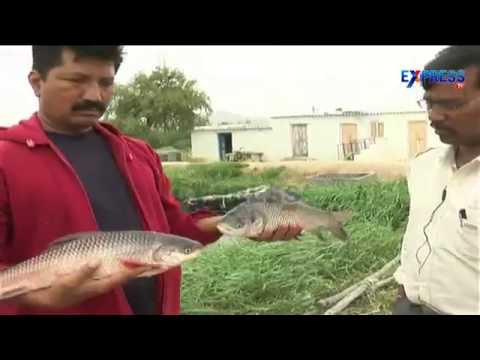 Freshwater Fish Culture In Anantapur By S Vijay Bhasker - Express TV