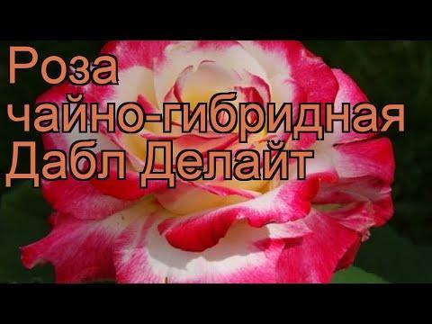 Роза чайно-гибридная Дабл Делайт (double delight) 🌿 обзор: как сажать, саженцы розы Дабл Делайт