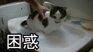 久々に猫シャンプーしたら戸惑いを隠せない模様 thumbnail
