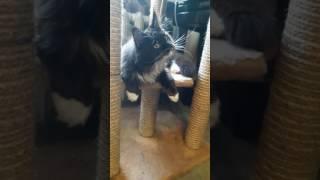 Продаются котята девочки чёрно-белые , порода гигантские кошки Мейн кун. Возраст 6 мес. др.29.11.16