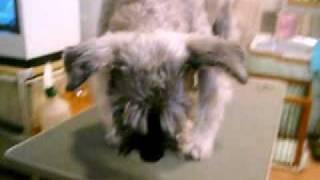 http://www.doggies.tv カットしてますます男前になったゴンゾー君☆ 短...