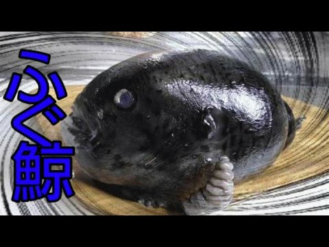 フグ鯨捌いたら毒化してしまいました。ホテイウオの捌き方【トリコ】