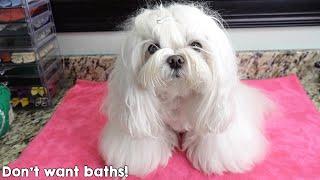 Maltese Dog Bath Time With Bodhi Dog Whitening Shampoo