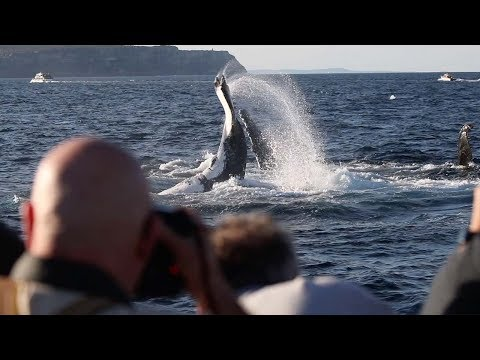 Humpback Whales Wave During Migration