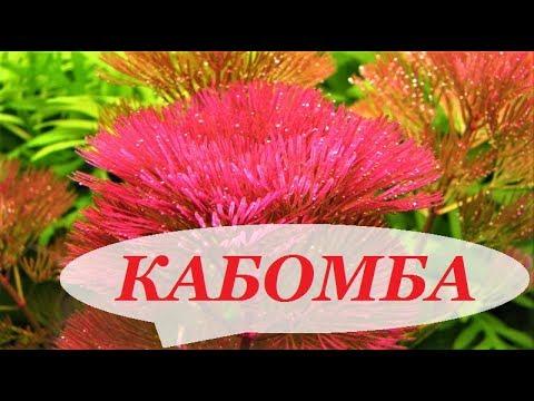 Бакопа каролинская аквариумное растение фото