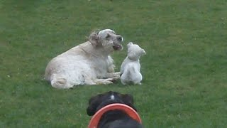 English Setter Shattered With Boxer Bridie, Bichon Pepper Pointer Larry & Westie Pads .