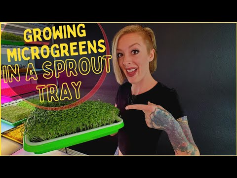 Growing Microgreens with SPROUTING TRAYS!?