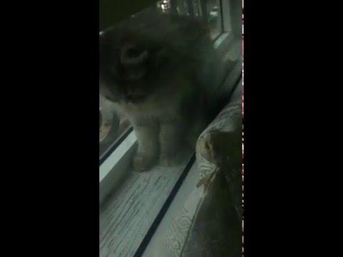 Gris de Gabon taquine chat persan