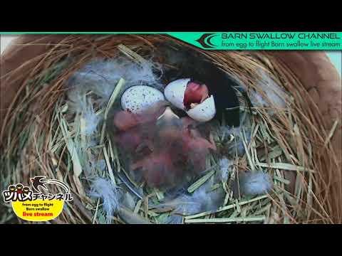 ツバメの雛が巣立つまでLIVE配信/5羽目孵化ハイライト