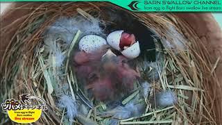 ツバメの雛が巣立つまでLIVE配信 今見ているツバメは日本の富山県で子育...