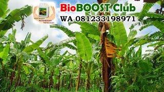 My Garden Bananas Back Fertile After I Give Bioboost Biological Fertilizer