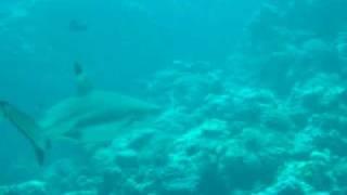 ヤップ島ブラックチップシャーク ヤップ島 検索動画 30