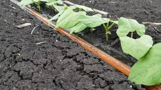 Dragon Line germinating crops