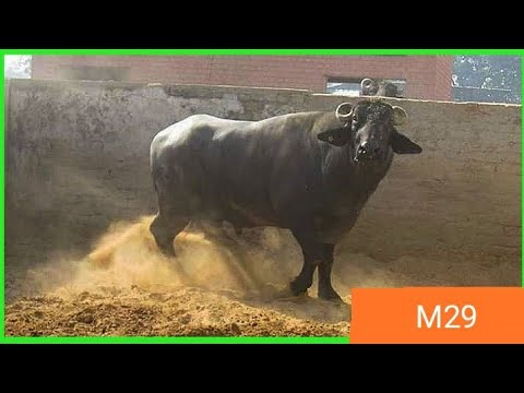 👌M29 Famous Murrah Old HLDB❤️ Bull full vidio with 🍃details