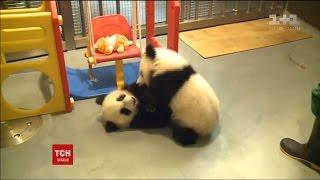 Зустріти Китайський Новий рік із пандами пропонує один із зоопарків