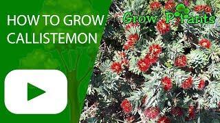How to grow Callistemon