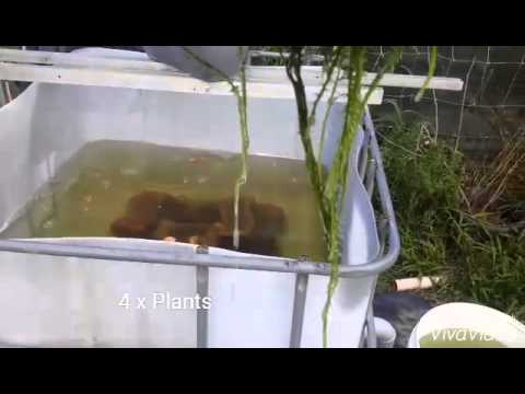 Backyard Red Claw Aquaponics