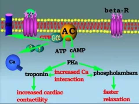 Mechanism Of Action Of Adrenergic Receptor Youtube