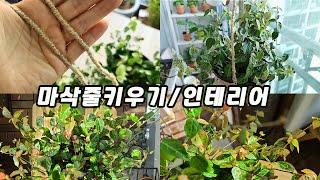 마삭줄 키우기 마삭줄 라탄 화분 만들기