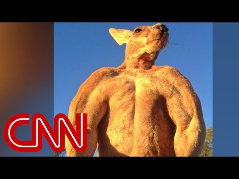 200-pound ripped kangaroo crushes metal