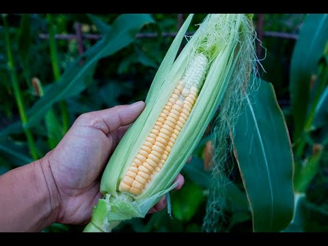 HARVESTING: Golden Bantam Yellow Corn