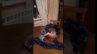 Британские котята Уфа