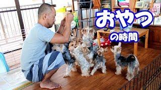 【ヨークシャーテリア専門犬舎チャオカーネ】 みんな大好きおやつの時間...