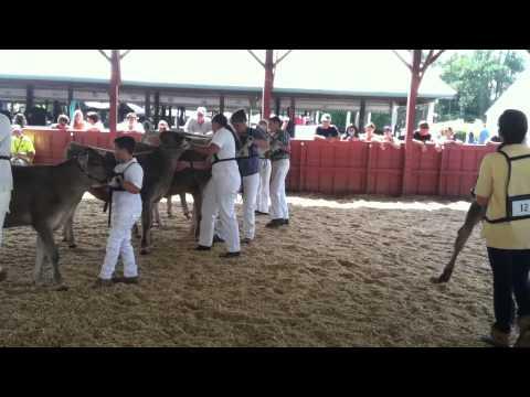 Dutchess County Fair Cows - Livestock Pavilion DCF15