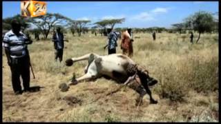 15 camels killed in a night raid along the Meru-Isiolo border