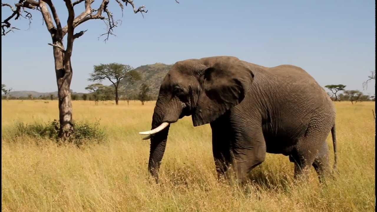 afrikanischer elefant tansania serengeti park youtube On afrikanischer elefant hohe