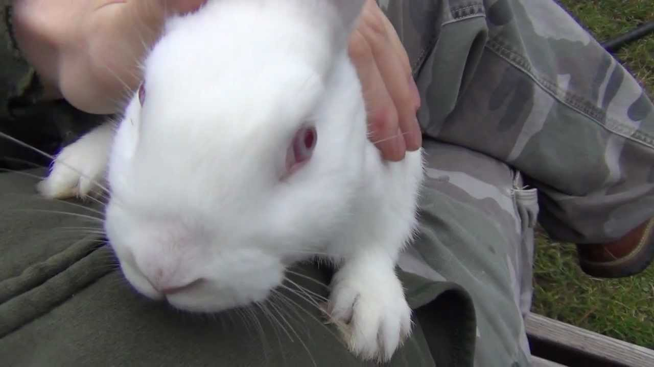 Very Nice White New Zealand Bunny Rabbit With Red Eyes
