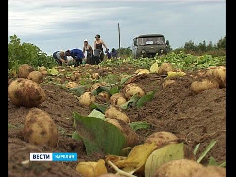 Сбор урожая ранней картошки