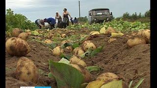 видео Подготовка картофельного поля для посадки и уборки урожая