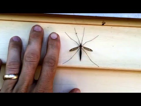 Texas Squitters - they do grow bigger in TX!!  (Not a mosquito)