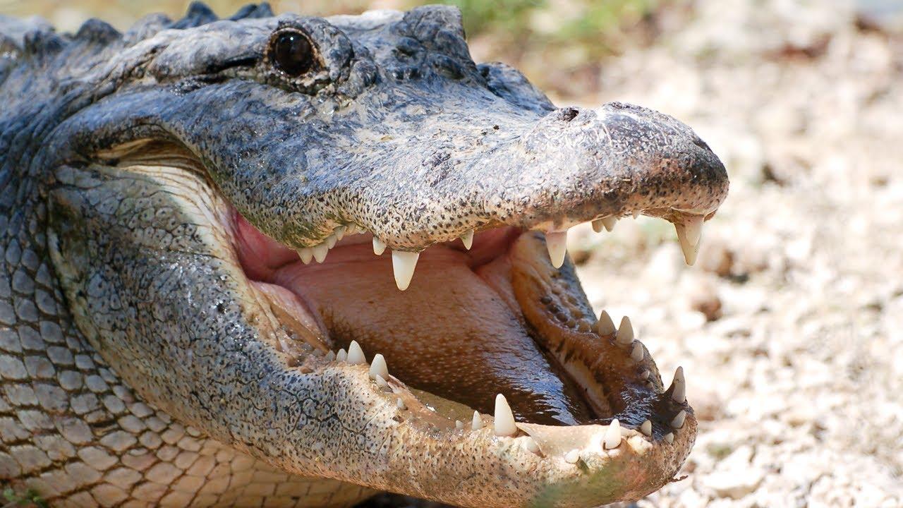 мануалом картинки крокодилов и змей того