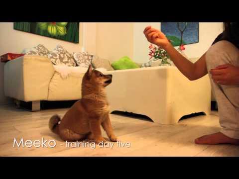 Shiba Puppy Training - Day 5
