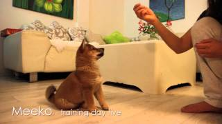 Shiba Puppy Training - Day 5