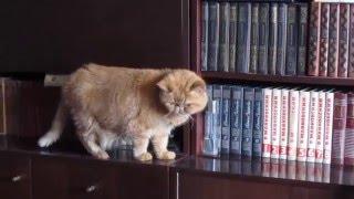 Милый кот Пончик выбирает книгу для чтения. Funny cat Ponchik.
