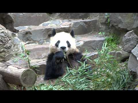 Panda Bear (Hangzhou Zoo)